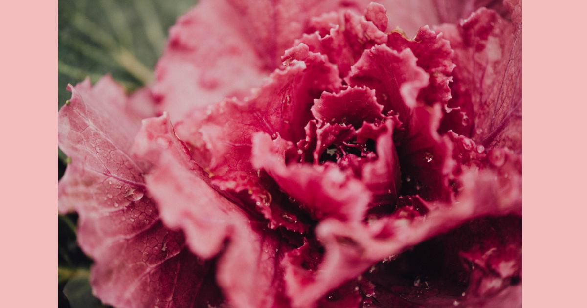 ピンク 薔薇